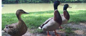 Vogelgrippe in Schleswig-Holstein ausgebrochen