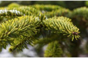 Alle Jahre wieder: Massenhaft Läuse, Spinnen und Zecken in echten Weihnachtsbäumen – so schützen Sie sich