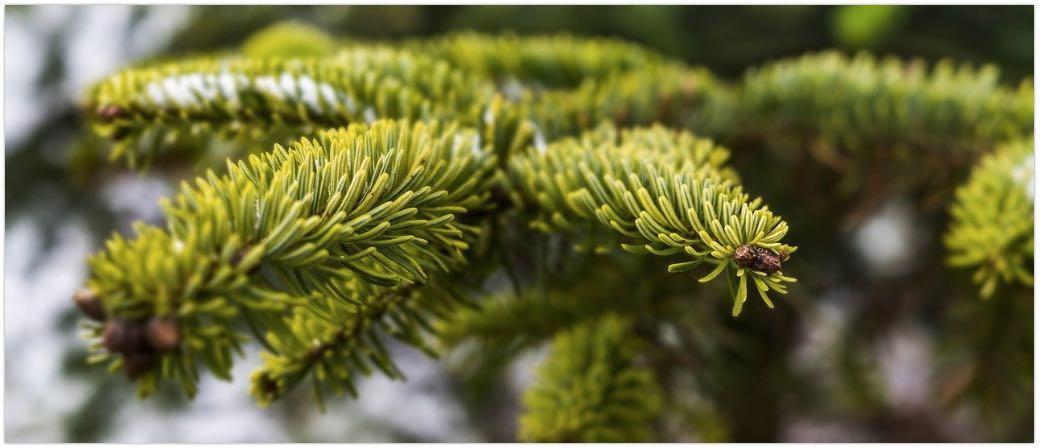 Tannenbaum Nadeln Symbolbild