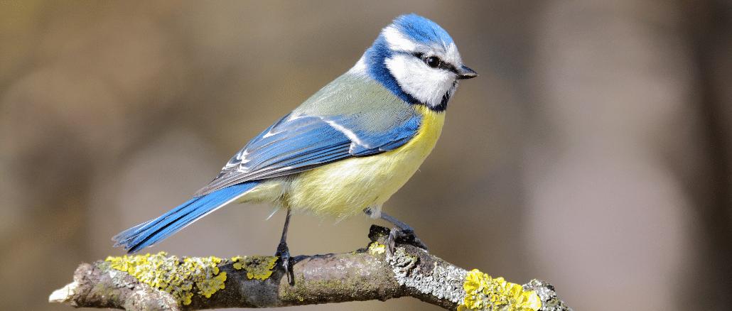 Blaumeise Singvogel
