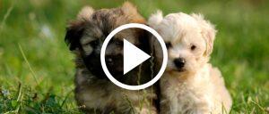 Hundewelpen Symbolbild Video