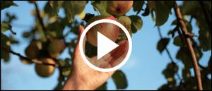 Apfel pfluecken Obstbaum